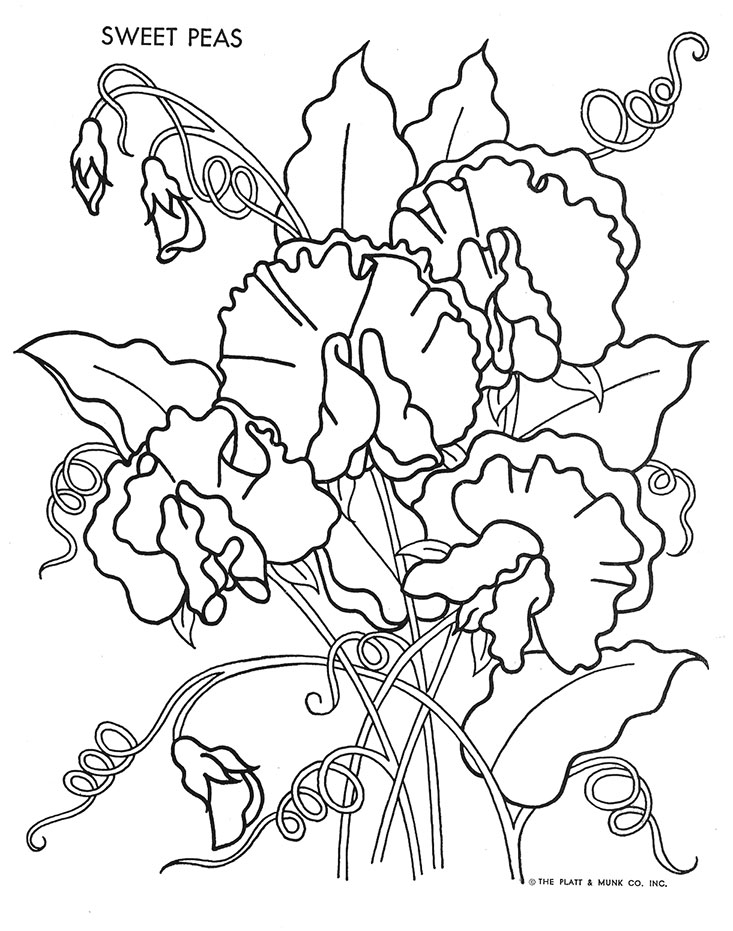 sweet pea coloring pages sweet pea flower drawing sketch coloring page