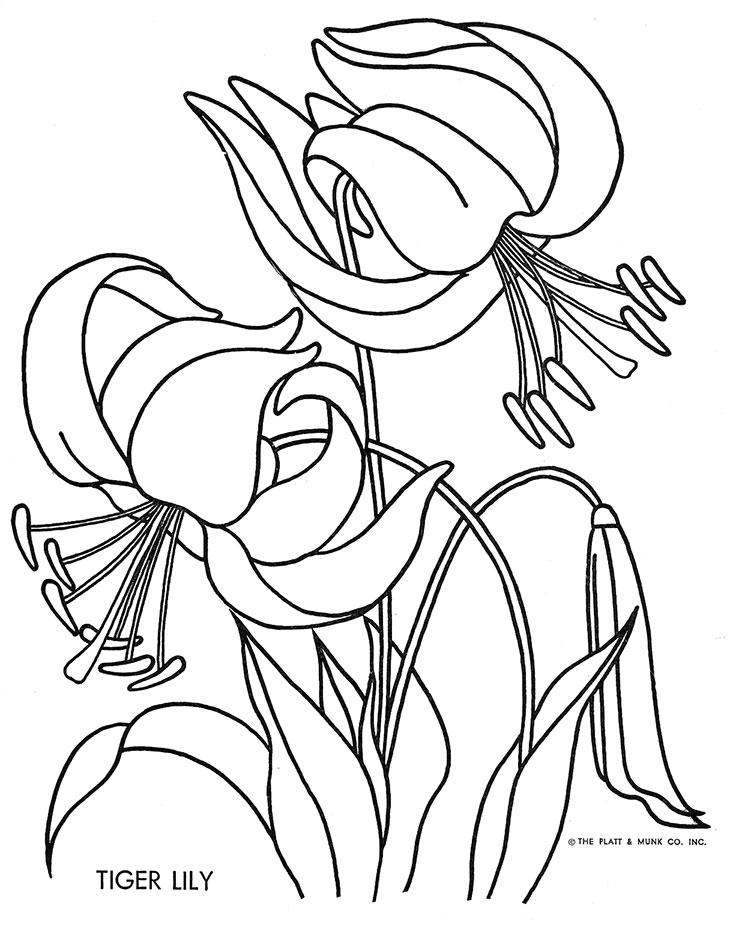 Tiger Lily Drawings Coloring Pages